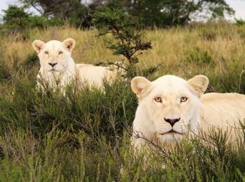ホワイトライオン 狩り.jpg
